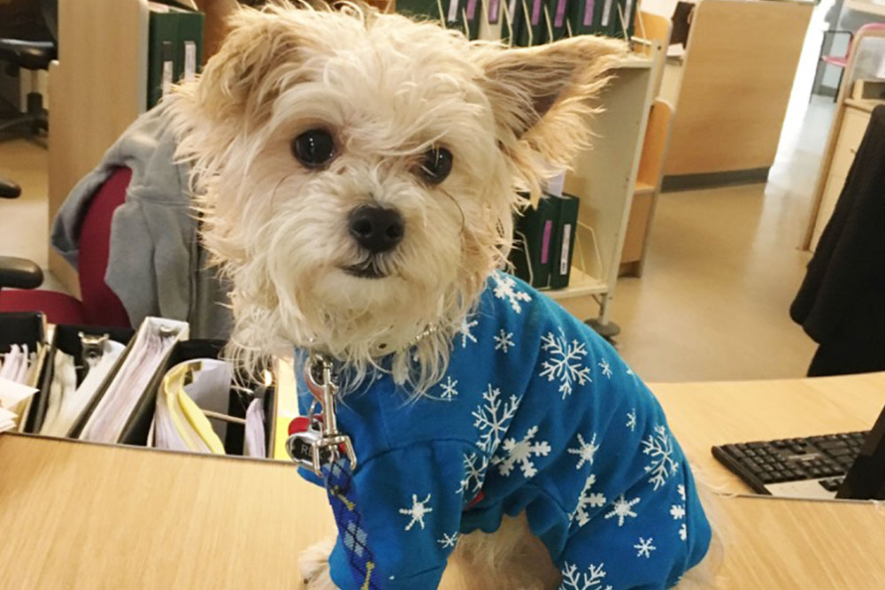 Small dog in blue clothes on desk at Norwalk facility.